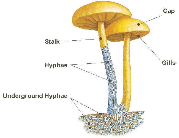 mushroom-gills