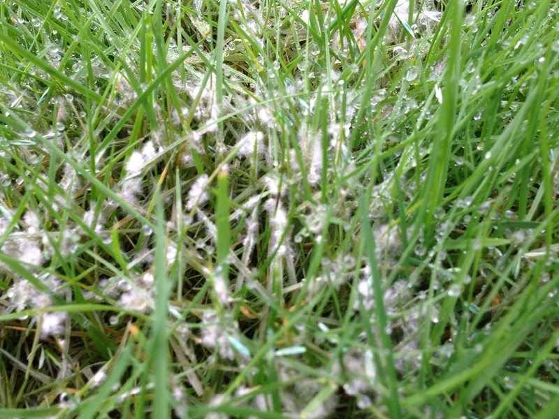 Fusarium Green Man Lawn Care